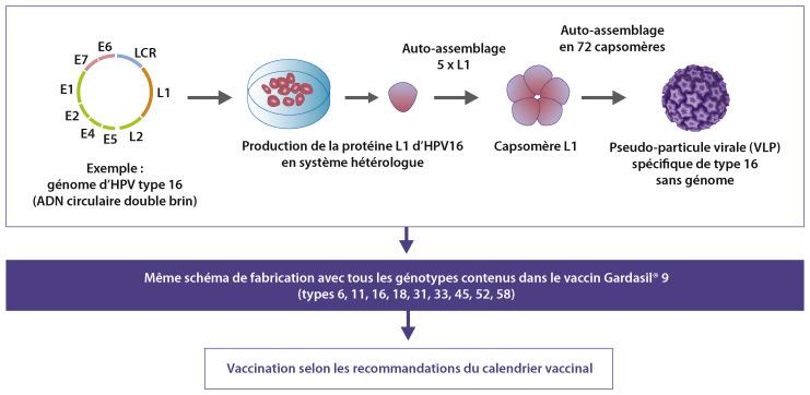 papillomavirus stade 1 et grossesse)