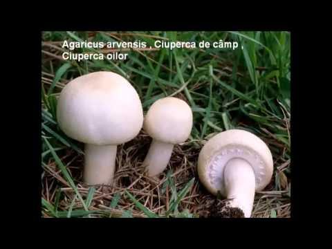 Cum arată ciupercile otrăvitoare. Specii de ciuperci cu imagini - kd-group.ro