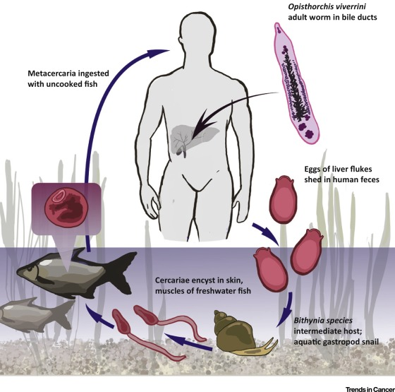 helminth infection and cancer)