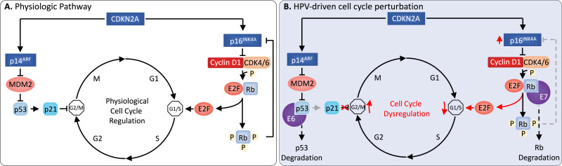 hpv and cancer mechanism)