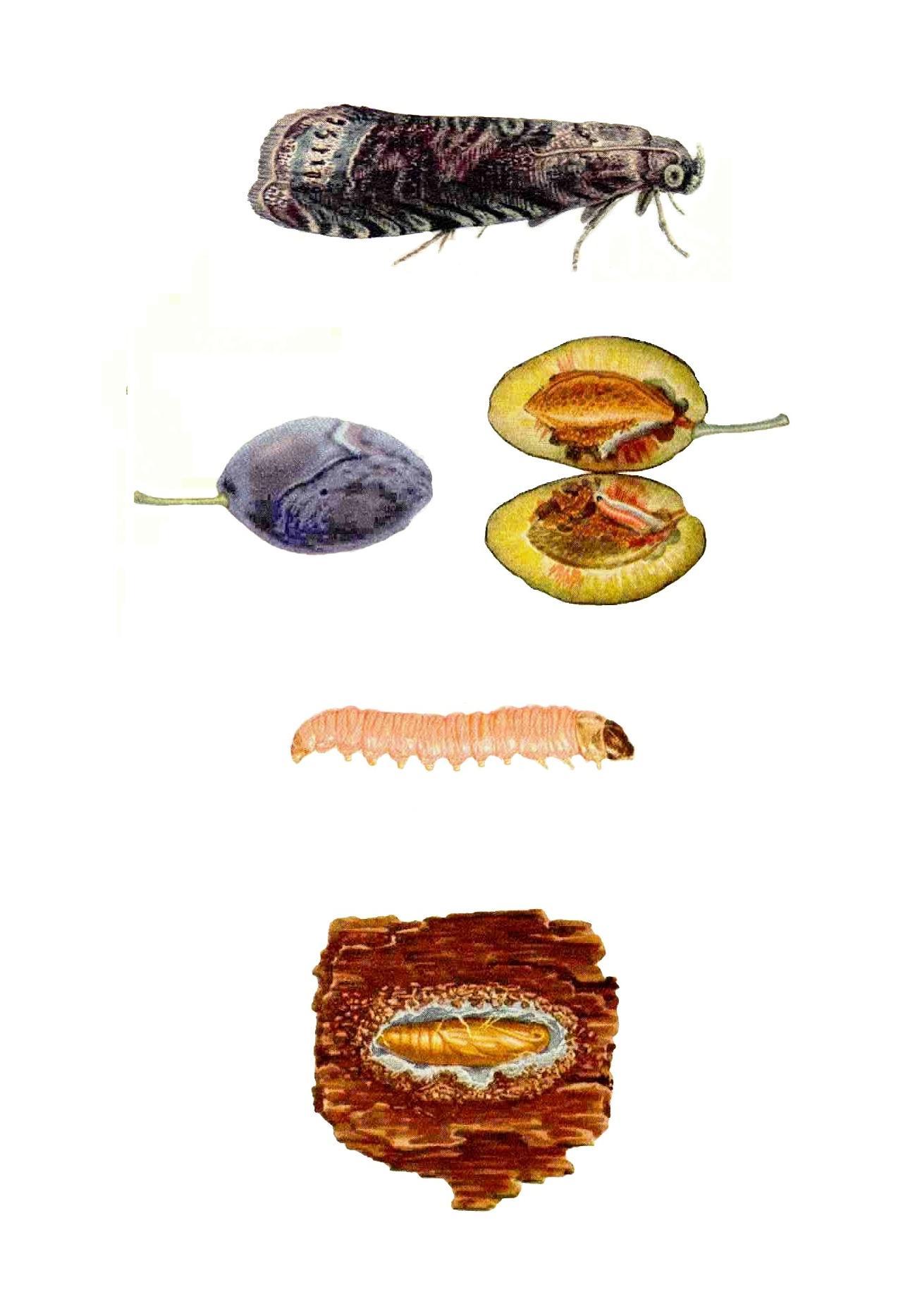 Viermele este contagios, Ascaridioza (limbricii)