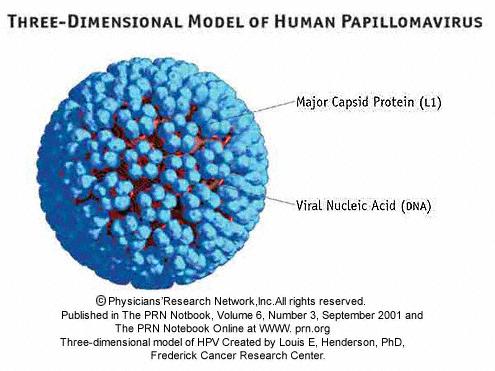papillomavirus a virus)