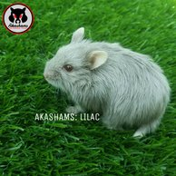 hamster parazit ilac?)