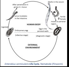 pathogenesis of enterobiasis