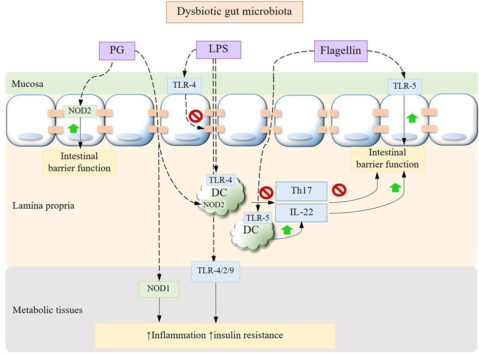 diabetes type 2 dysbiosis)