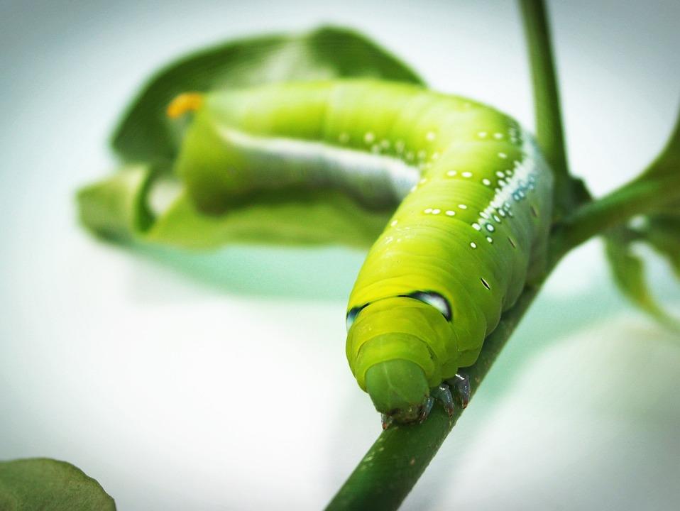 vierme verde)