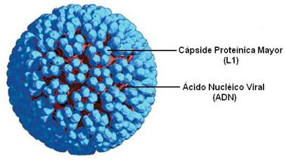 caracteristicas morfologicas del virus del papiloma humano)