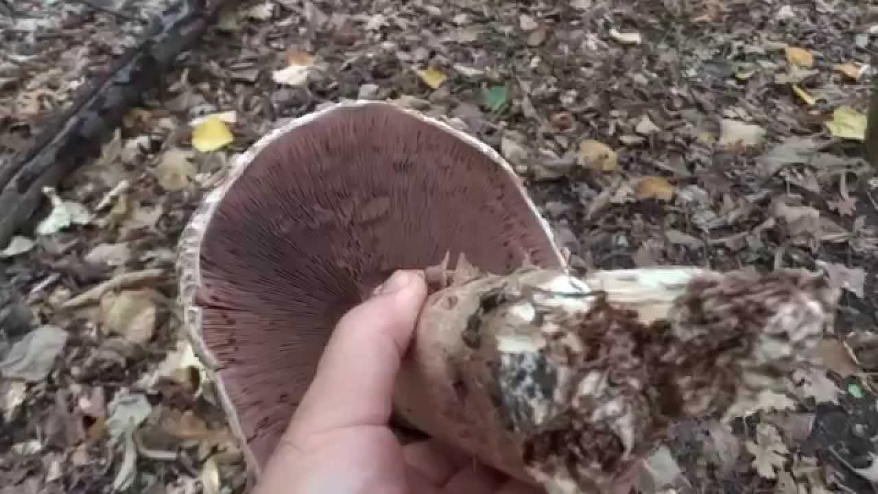 ciuperci oiesti)