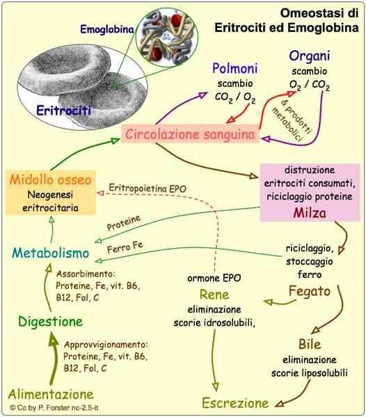 classificazione anemie 4 gruppi papiloma humano significado