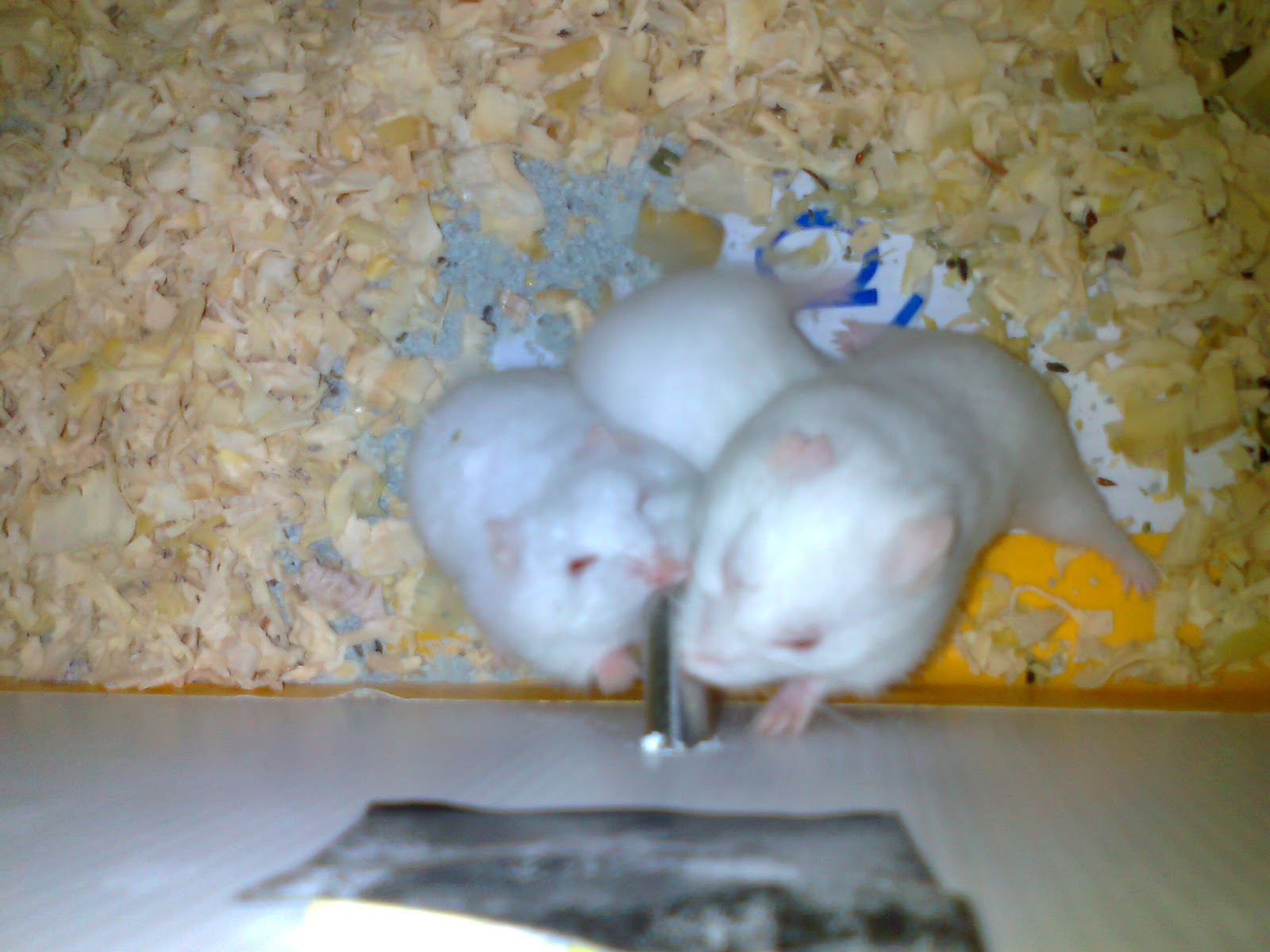 hamster parazit ilac? link between hpv and esophageal cancer