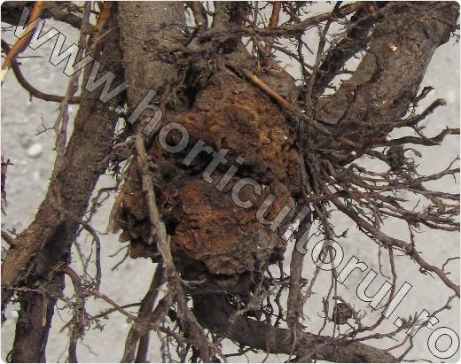 cancerul bacterian al pomilor fructiferi)