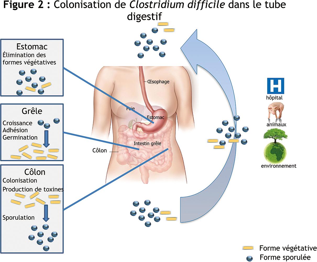 toxine a clostridium difficile)