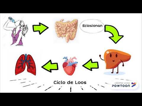 ciclo de oxiuros)