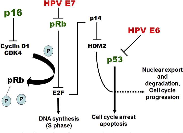 human papillomavirus and p16