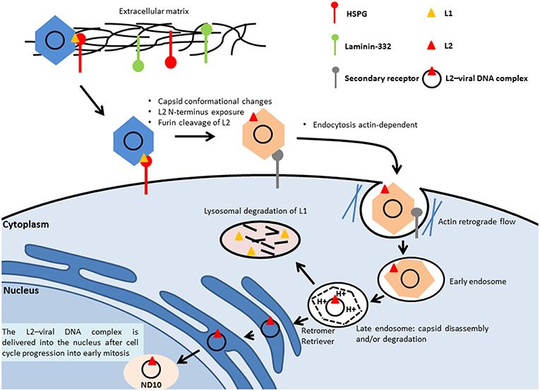 human papillomavirus infection high risk cancer sign aggressive