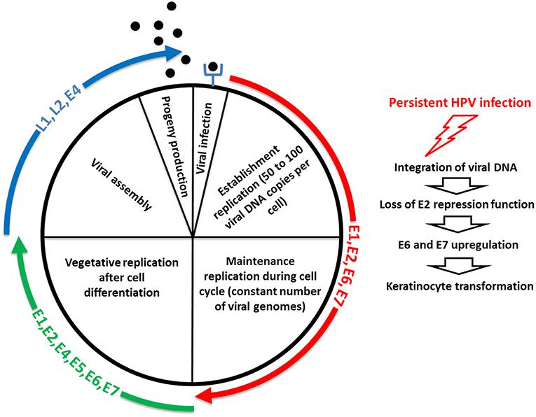 colorectal cancer organoids hpv virus best treatment