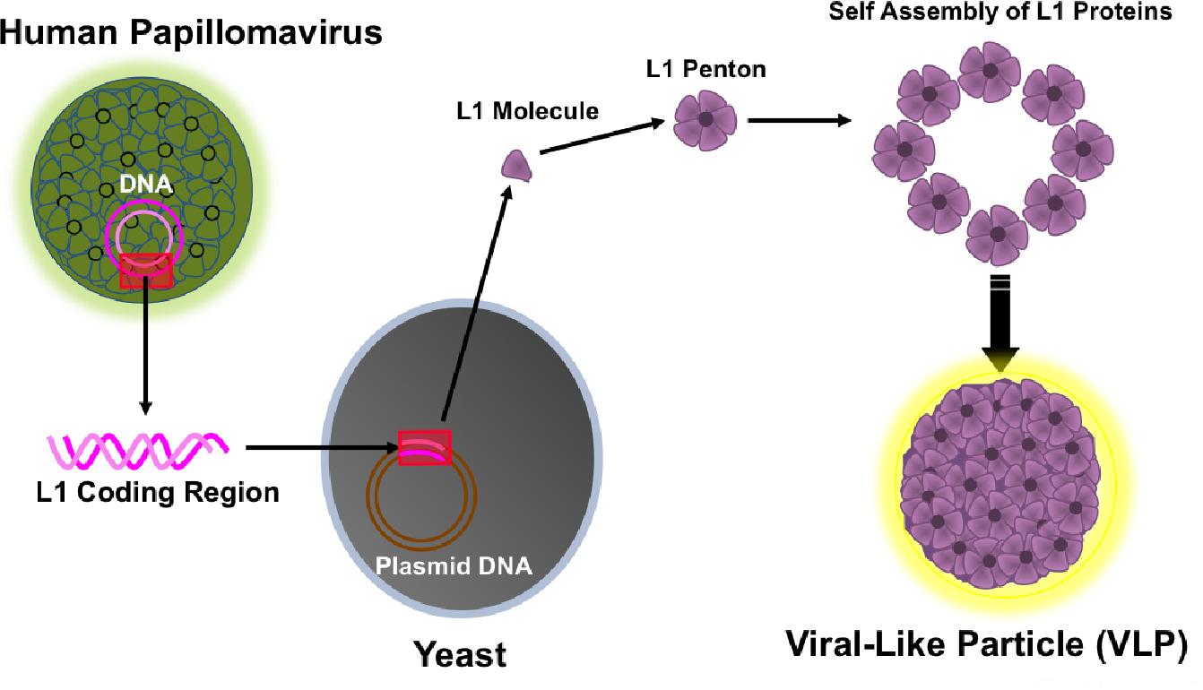 human papillomavirus vaccine production)