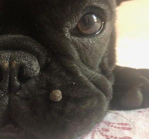 papilloma labbro cane