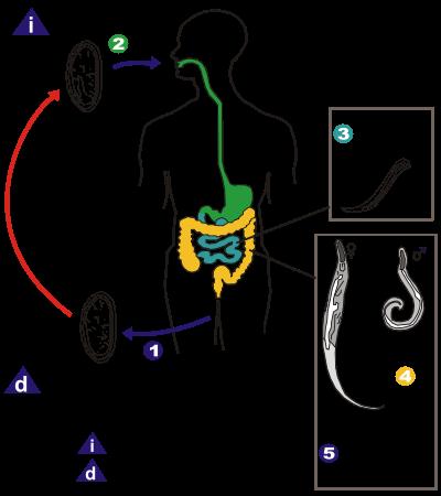 sintomas de enterobiasis