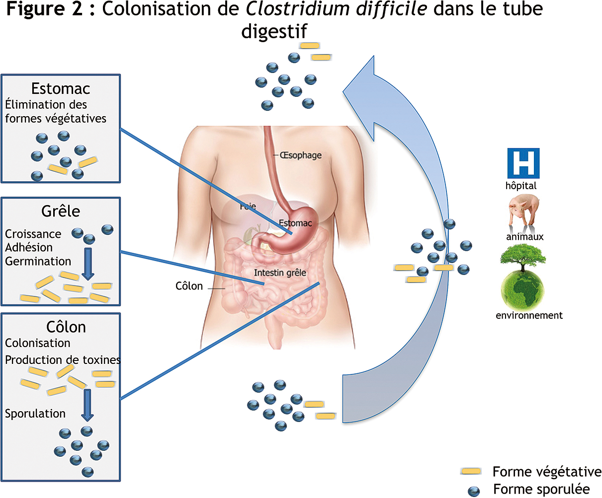 toxine a clostridium difficile)