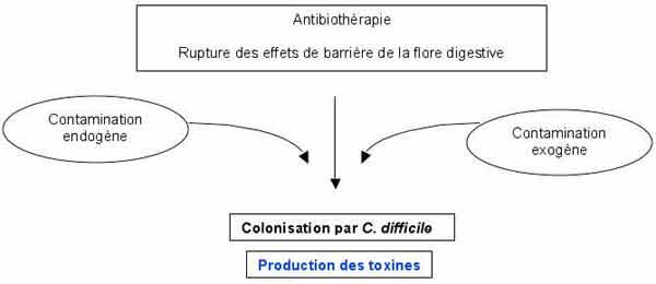 toxine b de clostridium difficile)