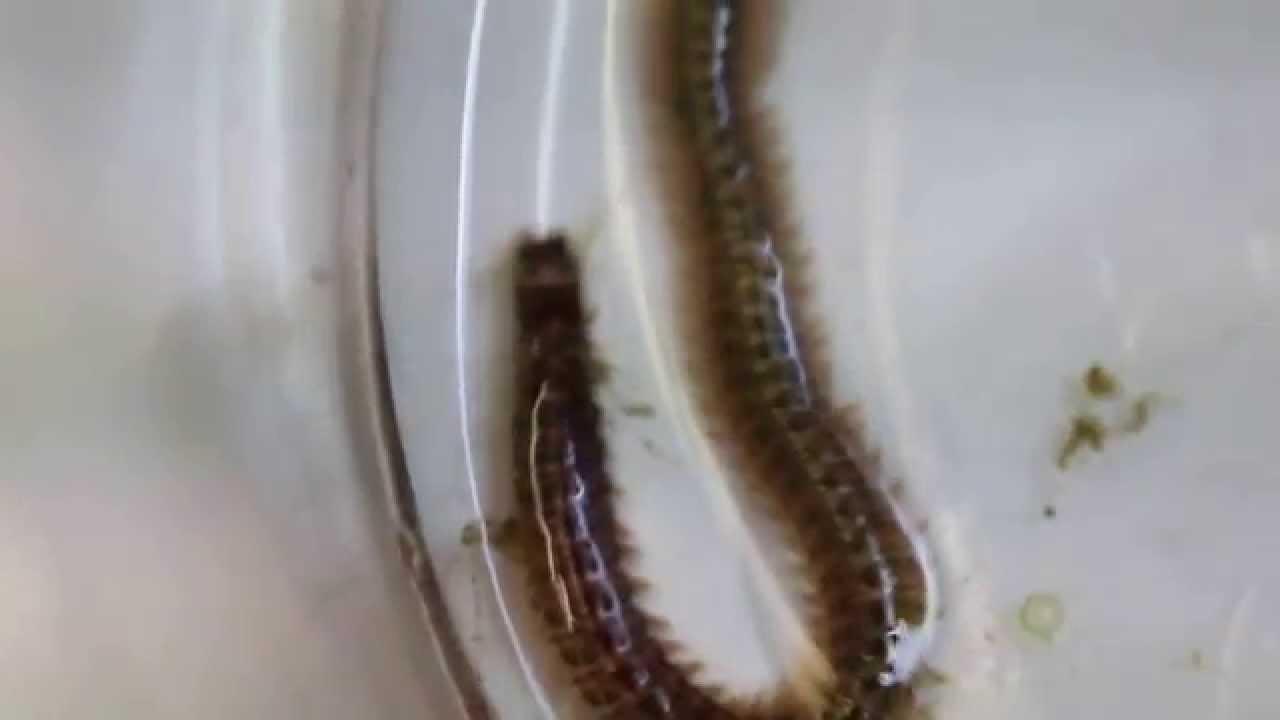 Eunice aphroditois – Viermele prădător | Descoperă