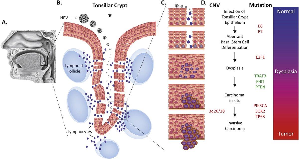 human papillomavirus infection molecule