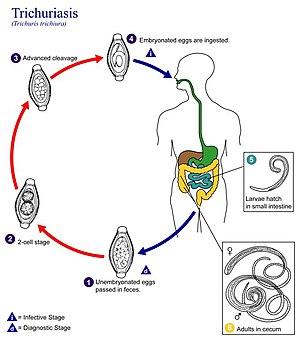 helminth infection em portugues