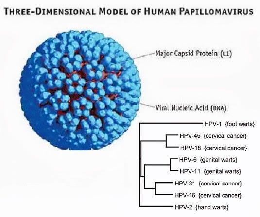 papilloma virus 6 11)