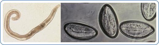 informații pinworm