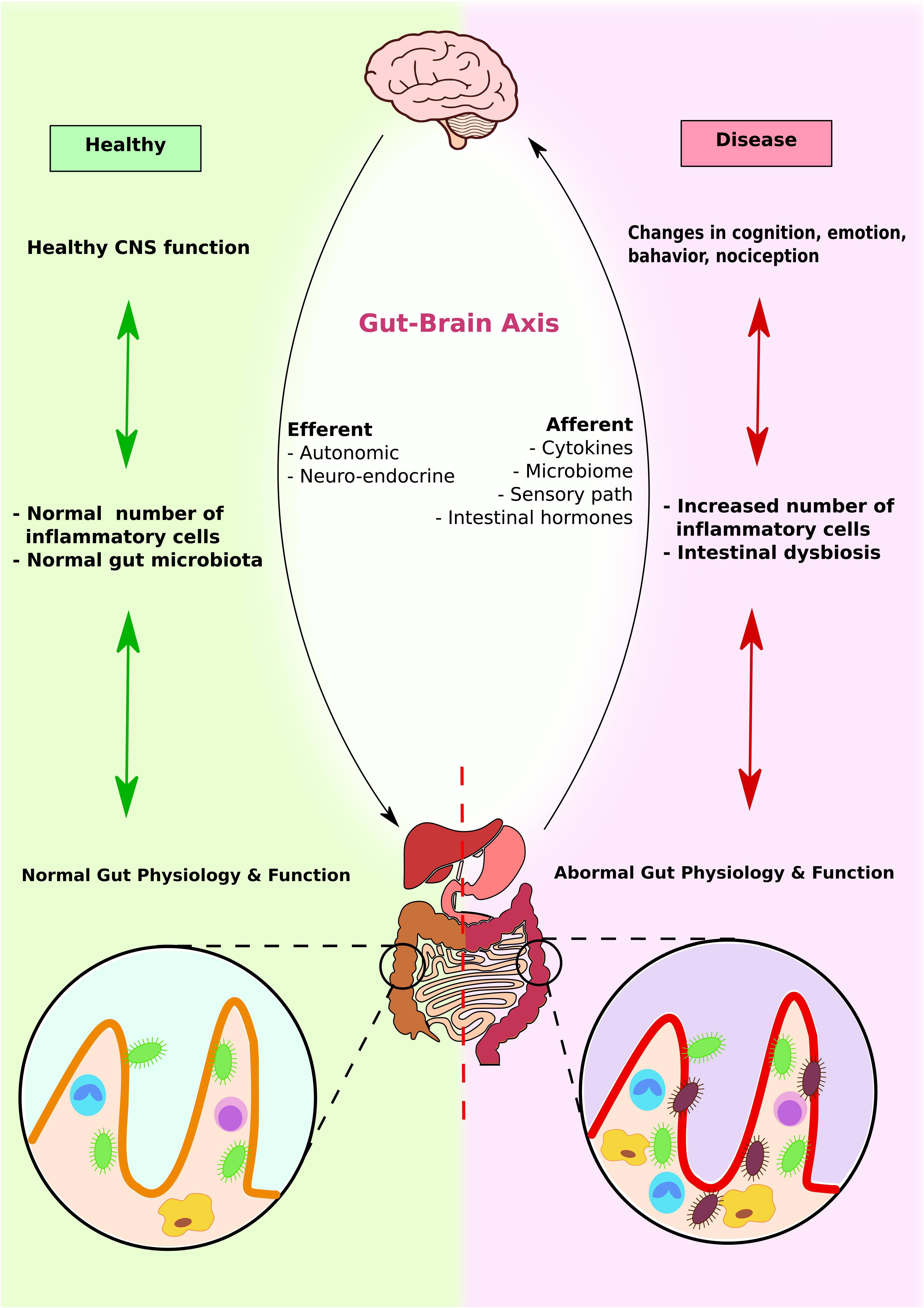 Microbiota intestinală reconfigurează frontierele cunoașterii