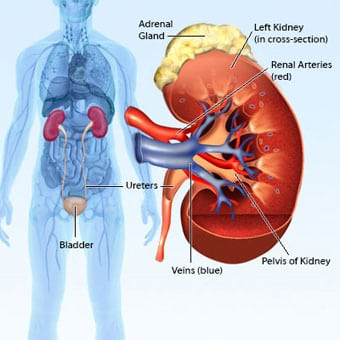 renal cancer genetic)