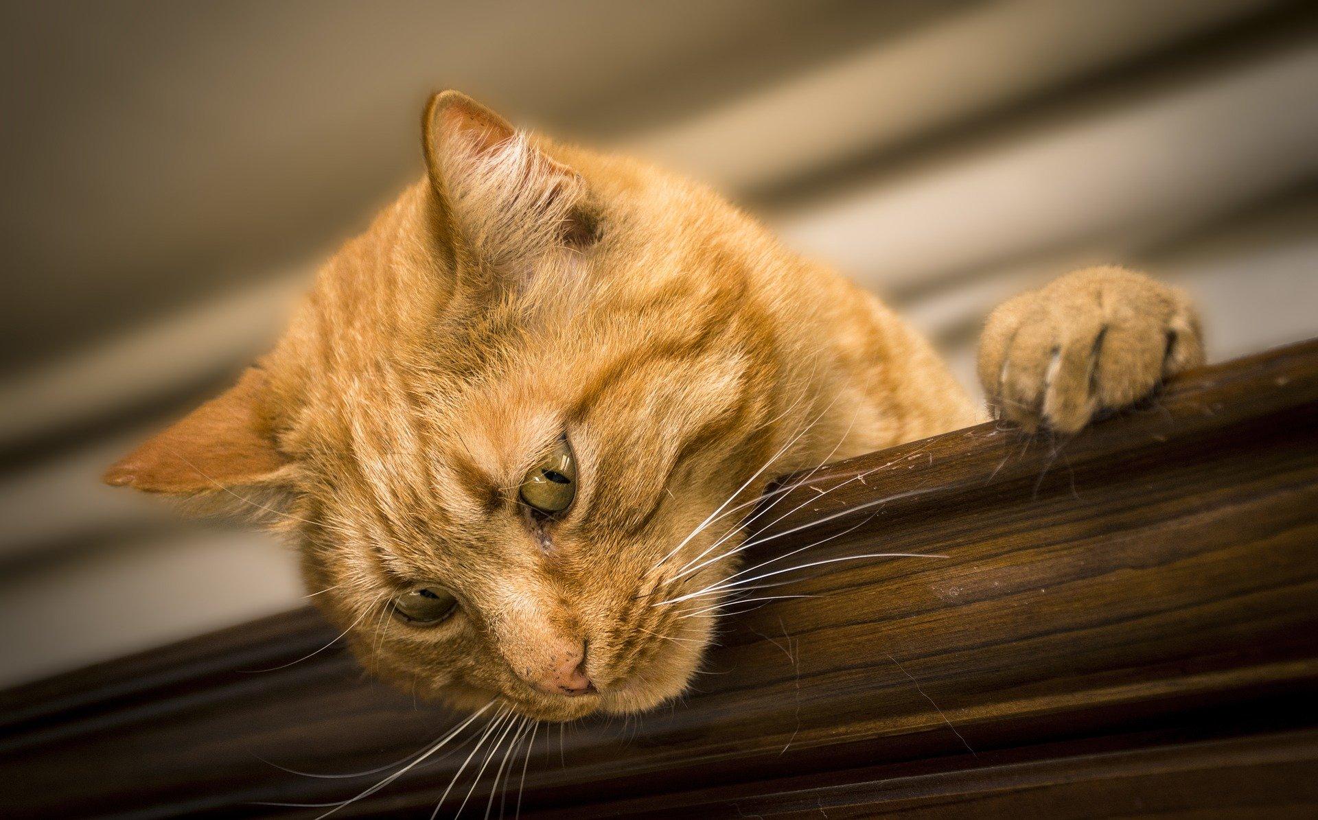papilloma virus nel gatto