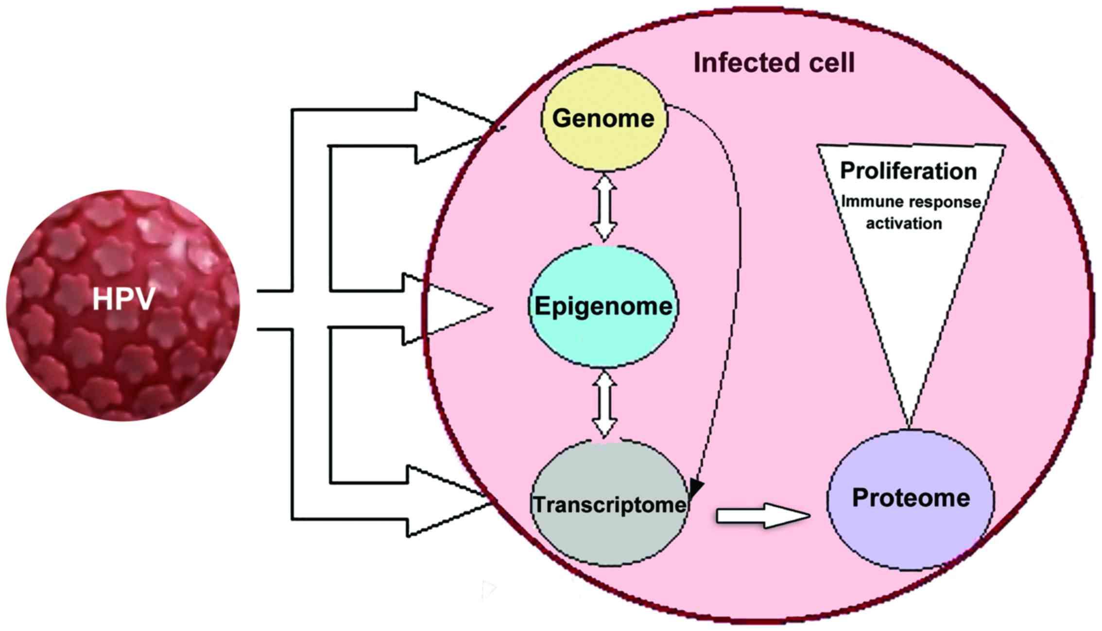 papilloma virus cellule squamose)
