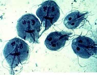 parazit lamblia intestinalis