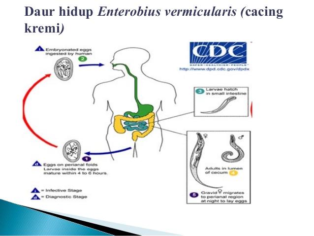 urticarie de la oxiuri doenca oxiurose prevencao