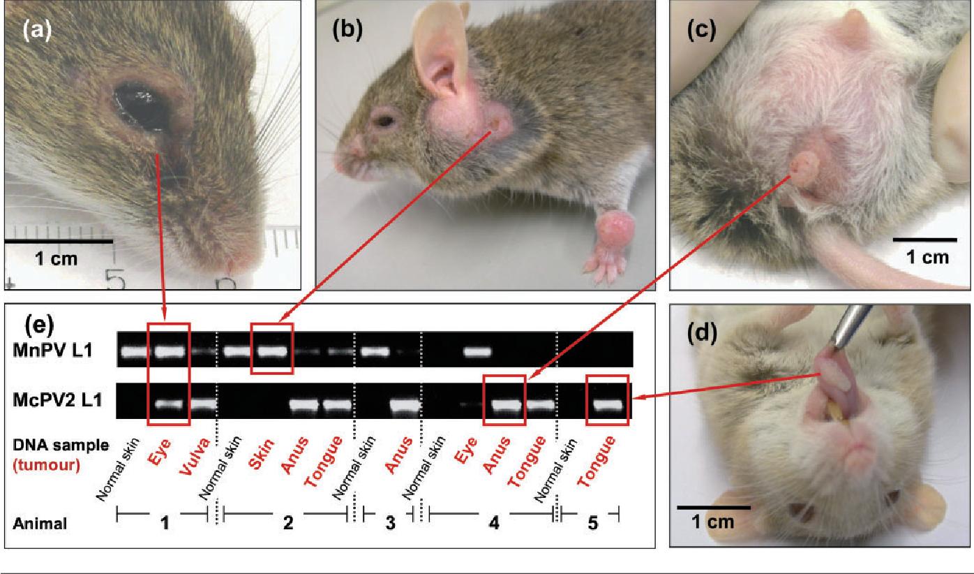 animal model papillomavirus)