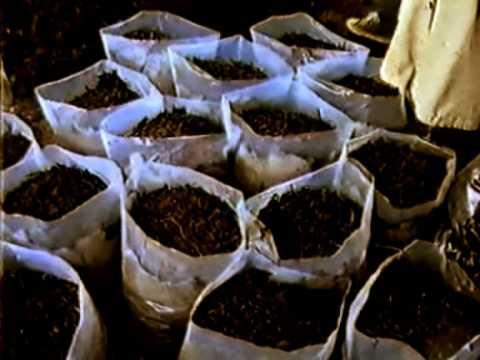 ciuperci yurta
