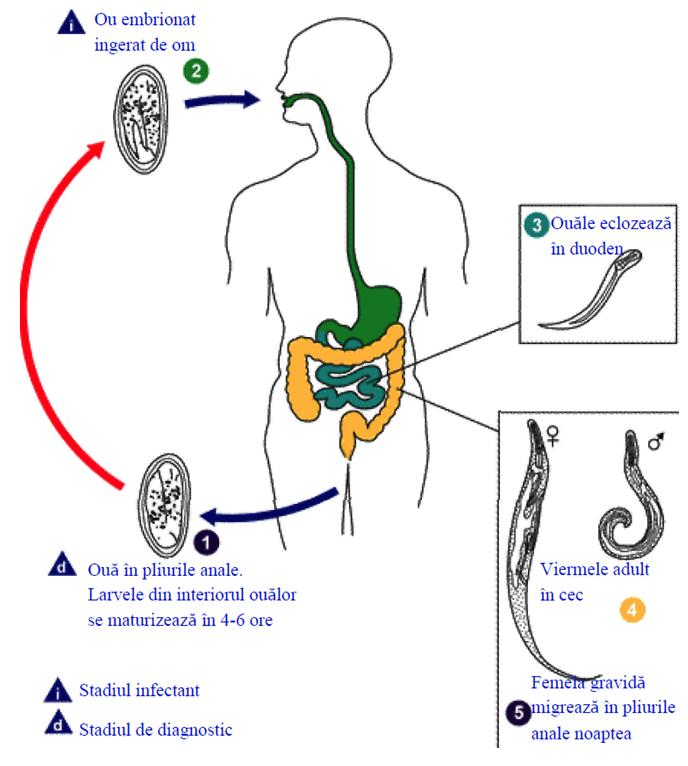 Enterobiaza. Infestarea cu Oxiuri   (Simptome & Diagnostic)