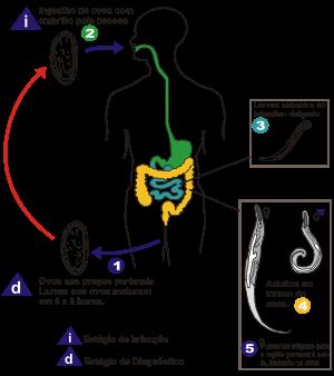 oxiuros morfologia