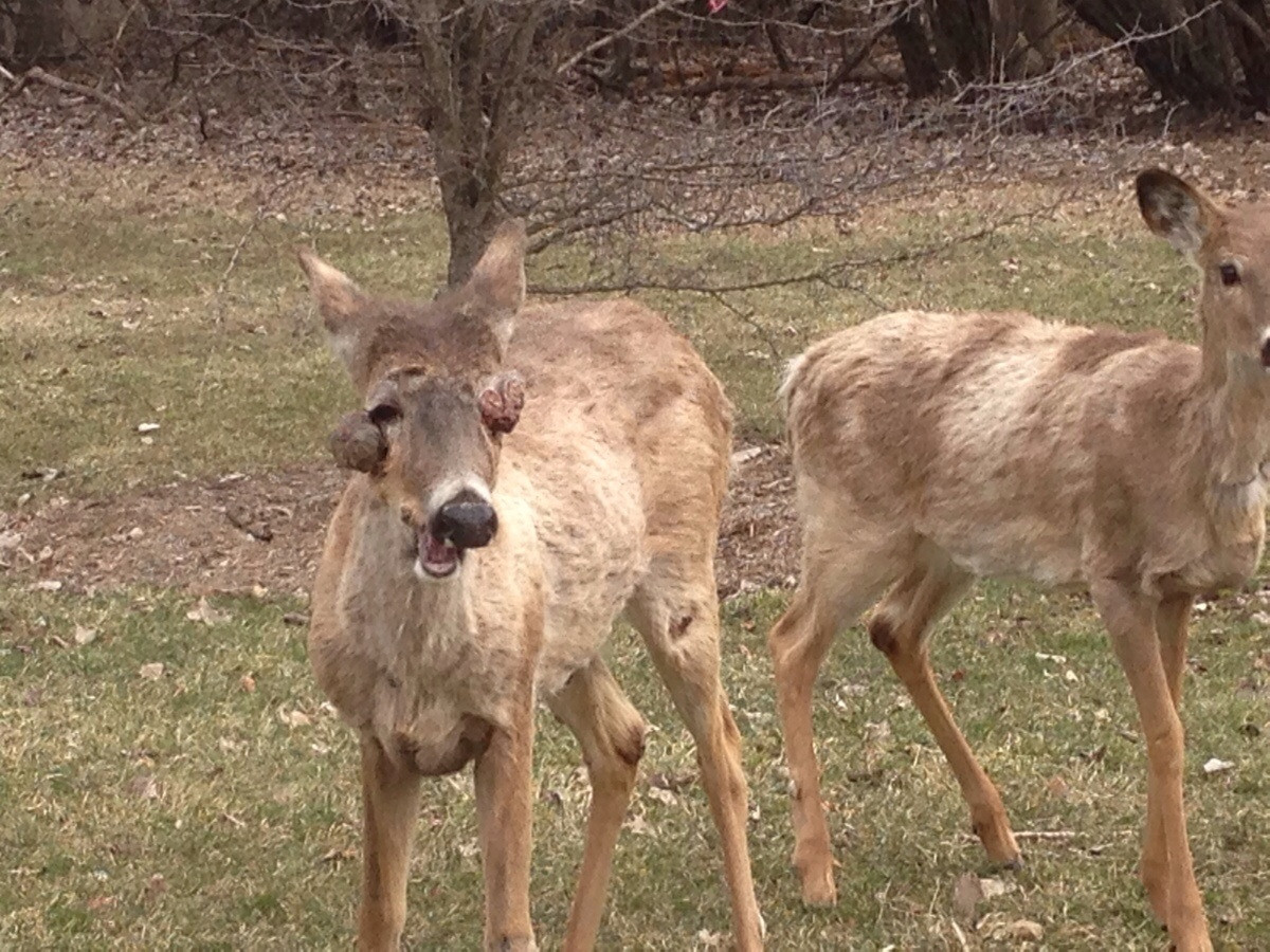 deer with hpv