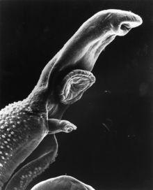 schistosomiasis flatworm