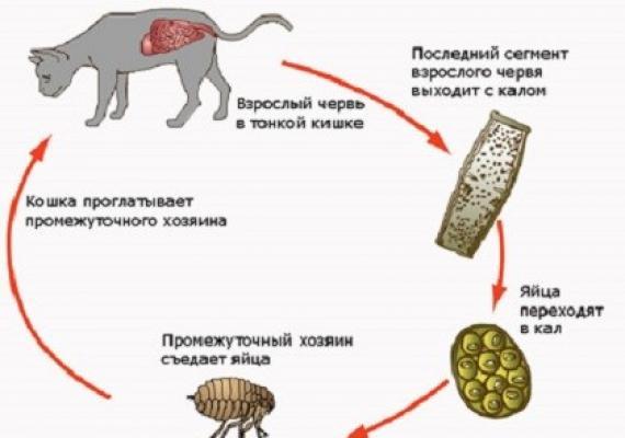 paraziti kod macaka)