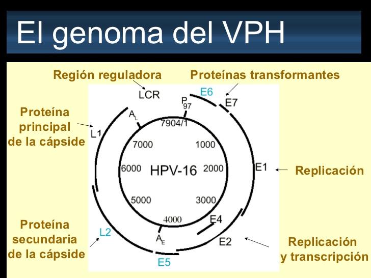 virus del papiloma humano genoma