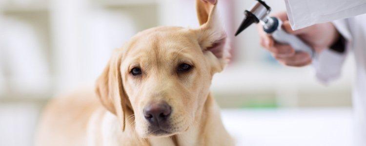 parasitos oxiuros perros