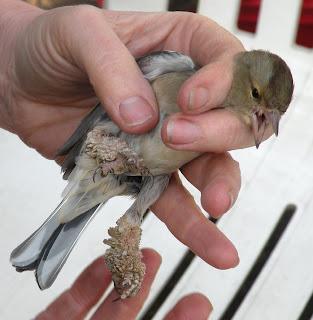 papilloma virus in wild birds)