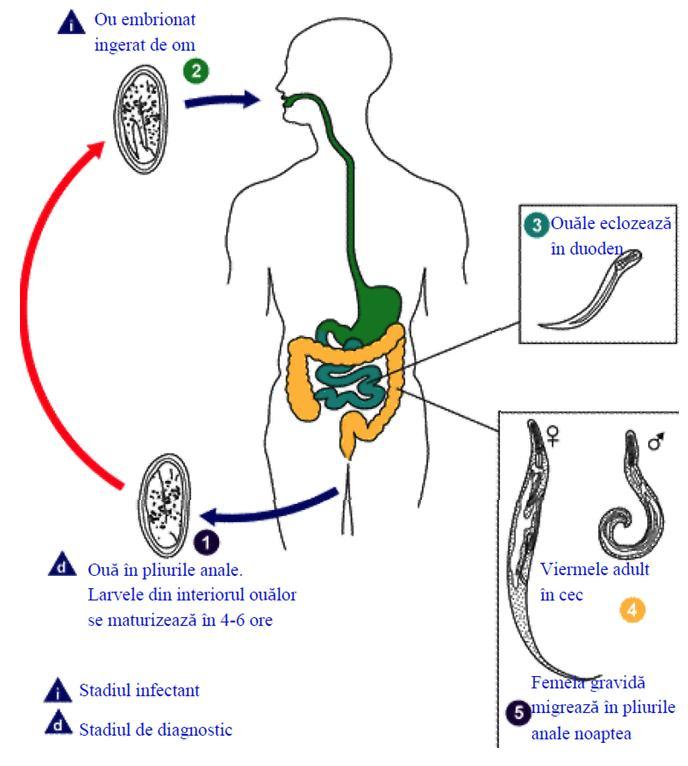 oxiuri in urina