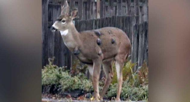 warts on mule deer