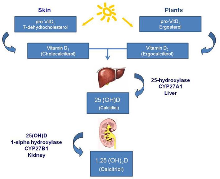 Vitamina D – noi directii in practica medicala curenta