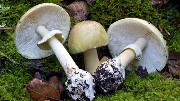 ciuperci albe de camp)